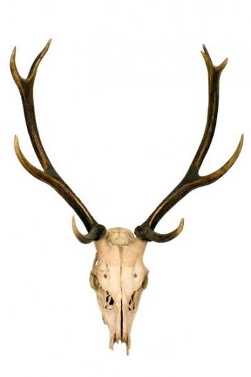 Crâne de cerf