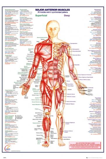 Human Body - Major Anterior Muscles