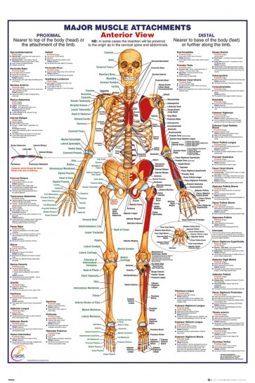 Human Body - Major Muscle Attachments