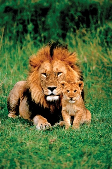 Lion with his baby