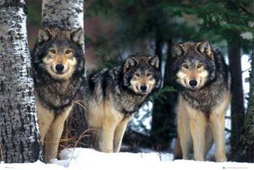 Siberia Wolves