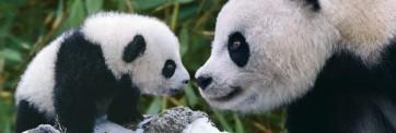 Panda - Mother & Cub