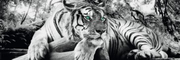 Tiger is watching you