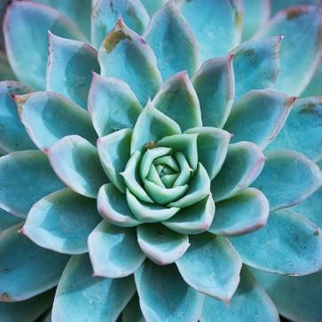 Plante Succulente III