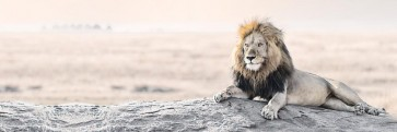 Lion - Bright Wildlife