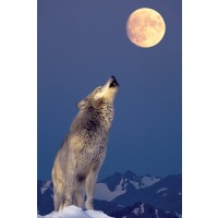 Wolf at the moon