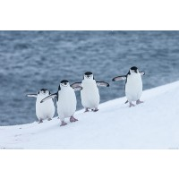 Chinstrap-Penguins