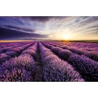 Lavender Field Backtrop